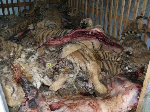 Tiger bodies in cold storage at Guilin Tiger & Bear Farm (c) Belinda Wright