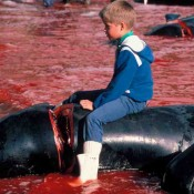 Faroe Islands PM urged to end the slaughter of pilot whales