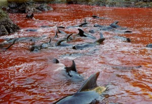Pilot whales as they butchers are they're driven to shore (c) EIA