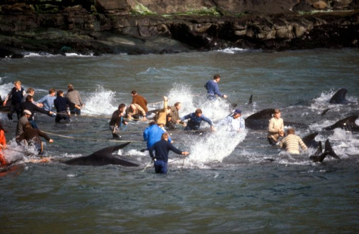 Whaling in the Faroe Islands in 1986 (c) EIA