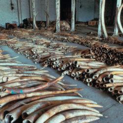 Ivory burning in Kenya.