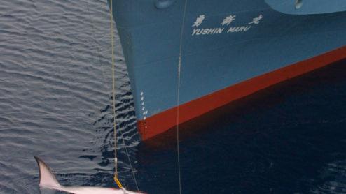Japanese catcher ship Yushin Maru after harpooning a Minke whale.