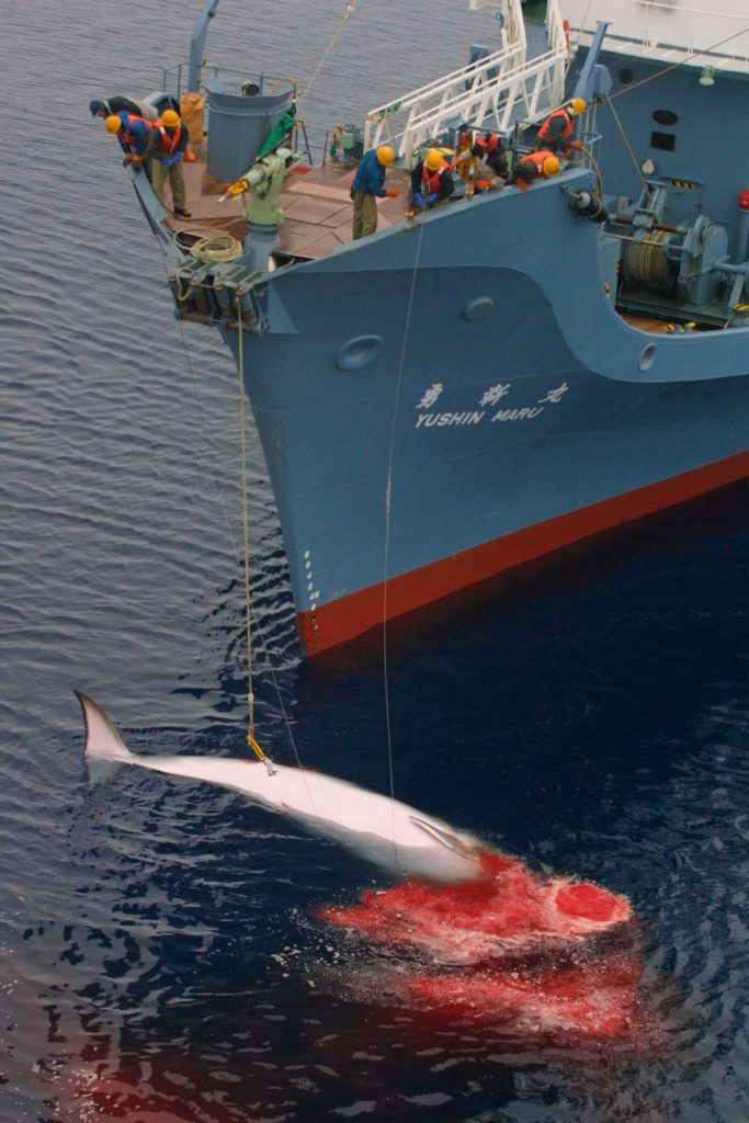 A harpoon has been fired from the front of the ship into the water where the whale is swimming. Blood is pouring out of the whale. Accession #: 3.0126.001.12