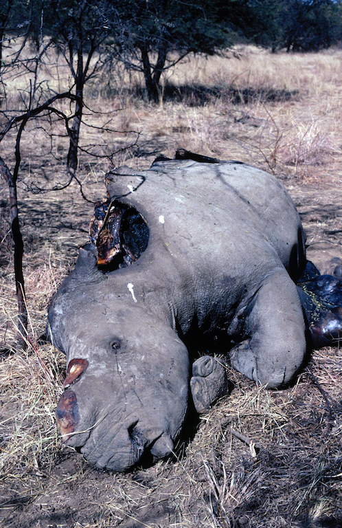 Dead white rhino in South Africa, 1991.