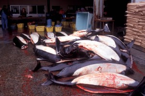 Dall's porpoises awaiting processing in Iwate, Japan, in March 1999 (c) EIA
