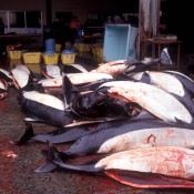 Toxic whale & dolphin shows Japan still gambling with health