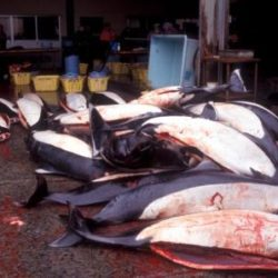 Dead Porpoises in fish factory