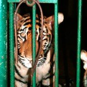 Security of critical tiger habitats must be a priority