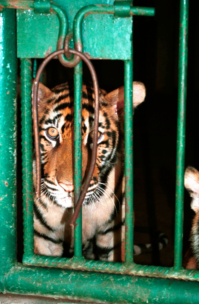 Tiger in a cage in a tiger farm