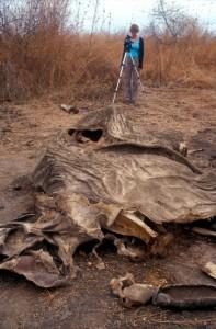 Investigator as the scene of a poached elephant in Tanzania (c) EIA