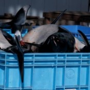 Public health threat increases as Japan's largest dolphin slaughter begins