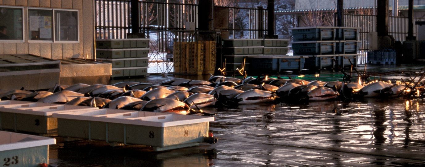 Dall's Porpoise catch in Otsuchi Japan. Copyright EIA.