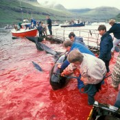 Our cetaceans team discusses alarming whaling activities in the North Atlantic