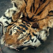Calling 'time' on tiger farms and skin sales