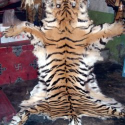 Whole fresh tiger skin offered for sale