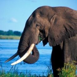 An African elephant with a lake on the background