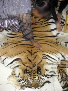 Whole tiger skin offered to EIA undercover investigators (c) EIA