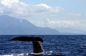 Sperm whale fluke kaikoura, New Zealand.