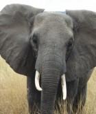 Elephant in Tarangire National Park, Tanzania (c) EIA