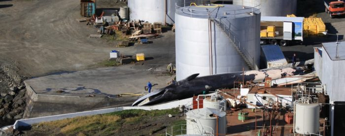 Fin Whale caught in Iceland. Credit EIA.