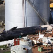 After a two-year break, Iceland to resume hunting endangered fin whales