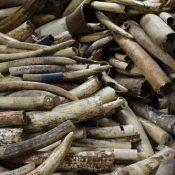 Illegal trade seizures: Elephant ivory