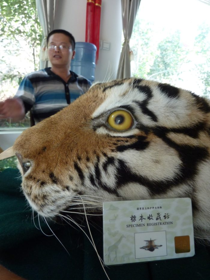 Tiger skin with official permit at Xia Feng (c) EIA