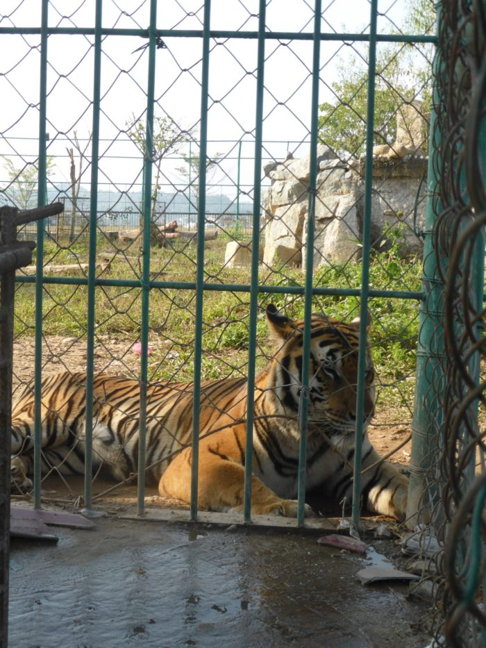 A captive tiger laying on the ground behind bars
