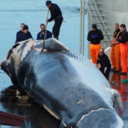 Fin whale being cut up by workers at a whaling station with a number of onlookers