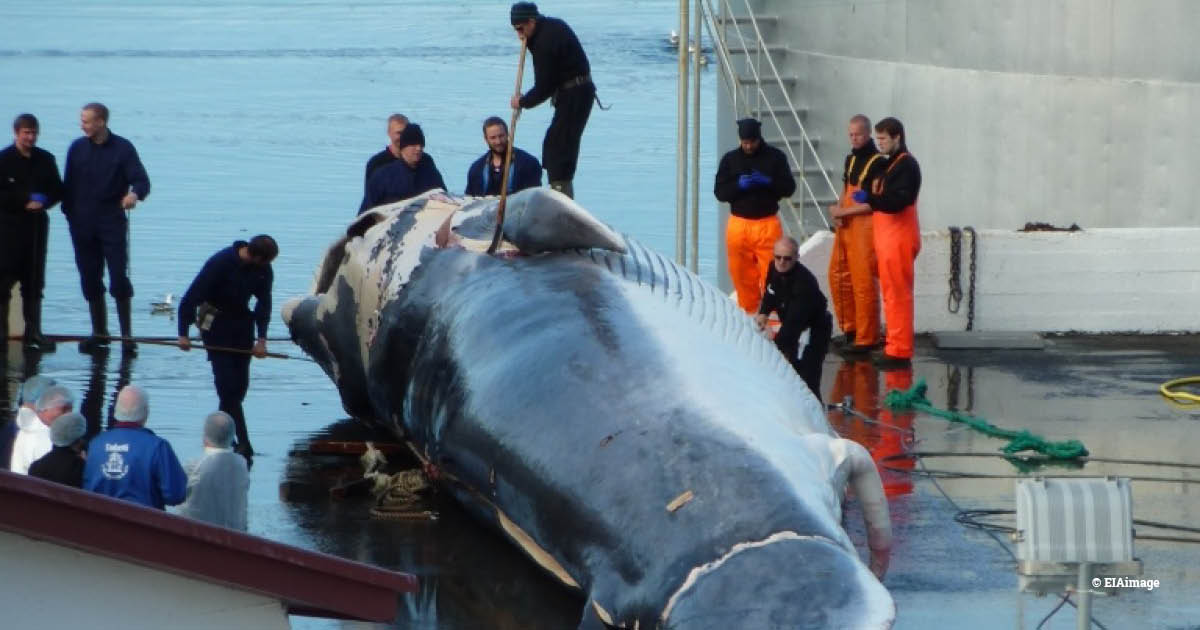 3 Fin whale landed at Miòsandur whaling station, Iceland, in August 2014