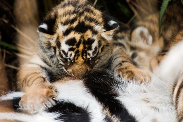 Three-week-old-Bengal tiger cub © Elliott Neep / NeepImages.com