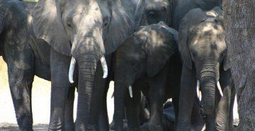 5092_2005_04_Zambia_SLCS_Dozing_Elephants_02_to be confirmed according to filename