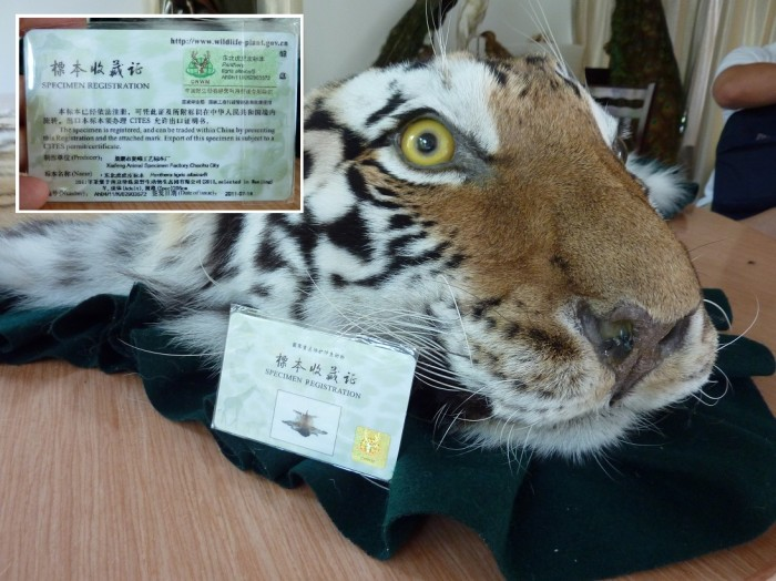 A permit and a tiger skin rug in Xiafeng taxidermy with, inset, permit details (c) EIA