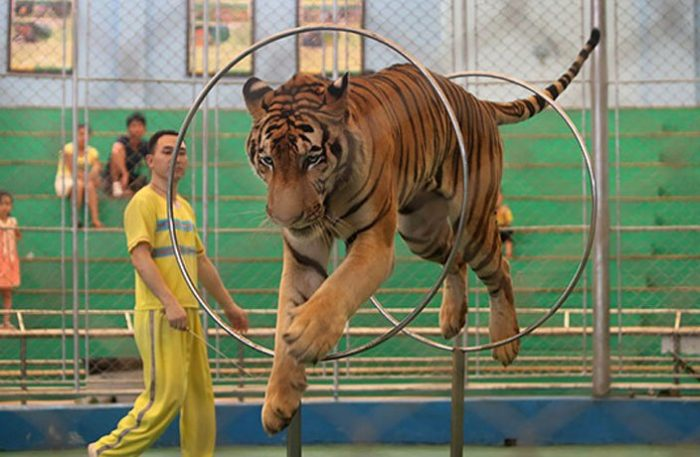 A tiger performs jumping through rings during a circus show at Guangzhou zoo on Aug 31, 2017 (c) VCG