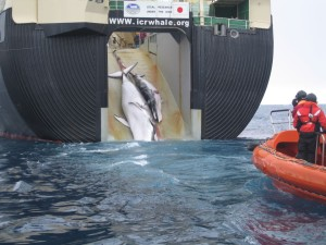 A whale and calf being loaded aboard a factory ship, the Nisshin Maru (c) Customs and Border Protection Service, Commonwealth of Australia