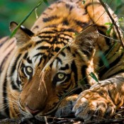 Act to help end tiger farms on International Tiger Day