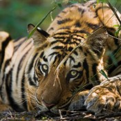 In the fight against illegal trade, don't forget about the tigers
