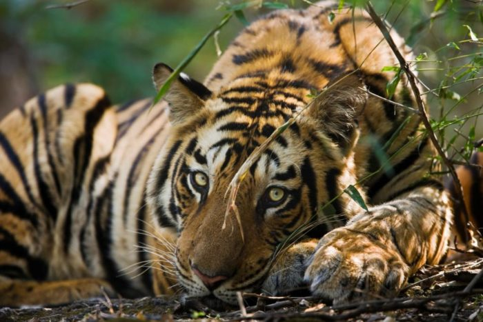 Adult male Bengal tiger, Bandhavgarh, India (c) Elliott Neep www.elliottneep.com