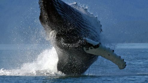 Adult Humpback Whale breaching