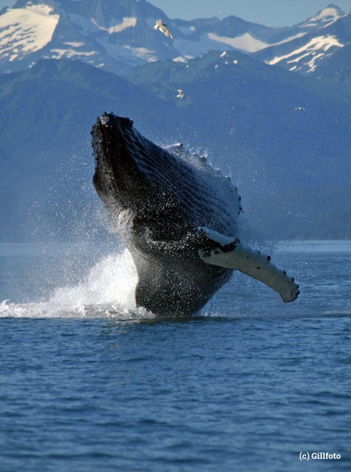 Adult_Humpback_Whale_breaching