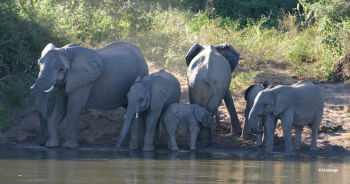 A group of African elephants by the edge of a water body