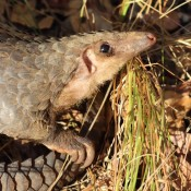 On World Pangolin Day spread word of unique creature's plight