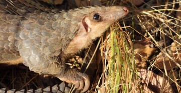 African white-bellied pangolin, Democratic Republic of the Congo (c) African Pangolin Working Group