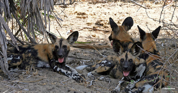 African wild dogs, aka painted dogs, resting in the shade - a third of their global population is in the Selous