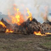 Kenya's courageous ivory pyre a statement of intent