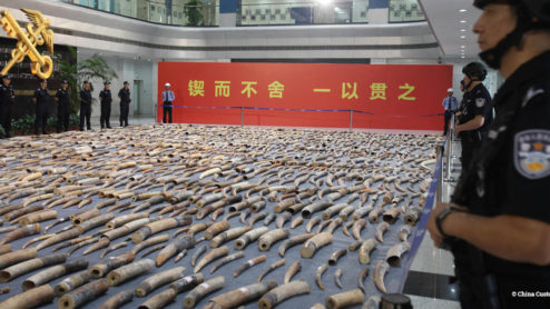 Display of ivory seized in China by customs officers