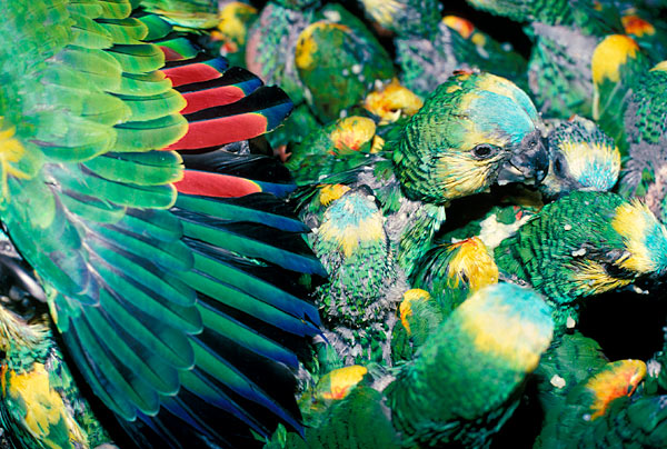 Argentina_Blue_Fronted_Parrots_crammed_Crate_Dave_Currey_EIA
