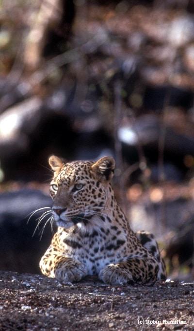 Asian leopard.