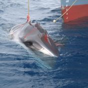 EU condemns Japan's sham North Pacific whaling plan