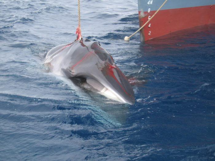 Australian Customs Service -WhalingInTheSouthernOcean_4